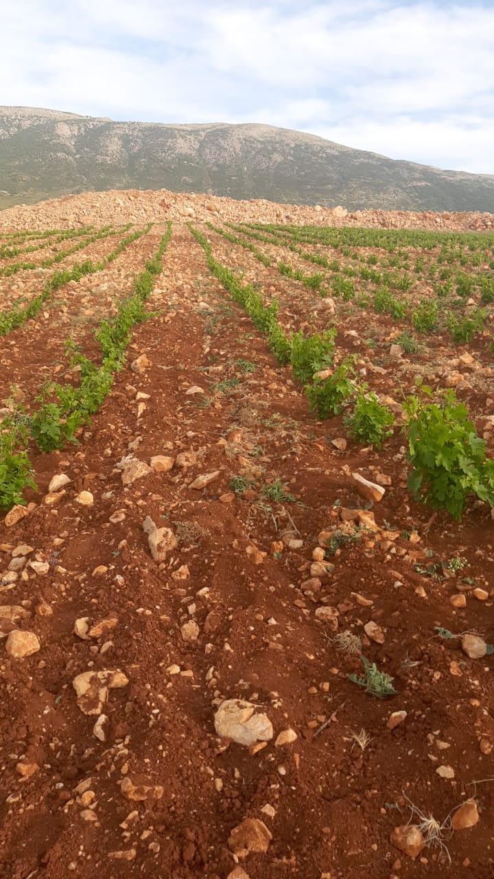 Vineyards, village, Mehrine